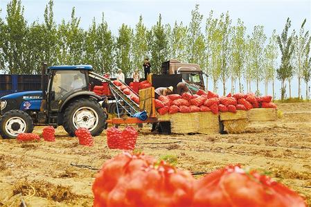 【脱贫攻坚奔小康】张掖市高台县农民收获马铃薯