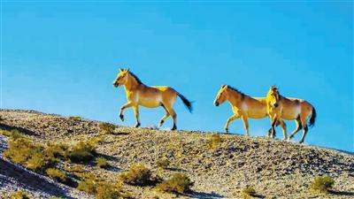 甘肃安西极旱荒漠国家级自然保护区普氏野马增至42匹