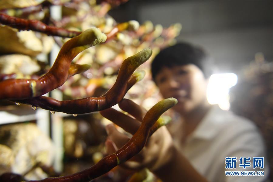 (经济)(1)福建浦城:灵芝产业助推精准扶贫