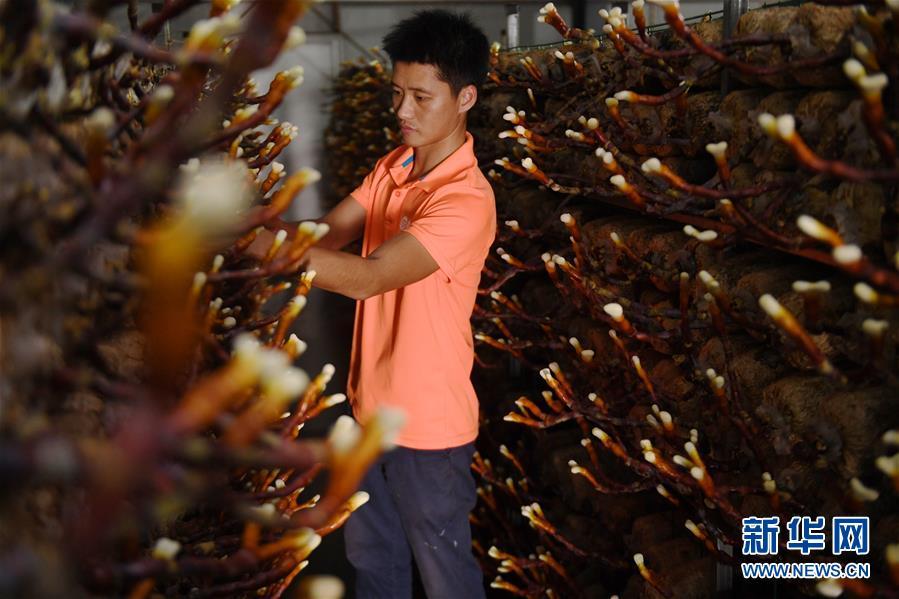 (经济)(2)福建浦城:灵芝产业助推精准扶贫