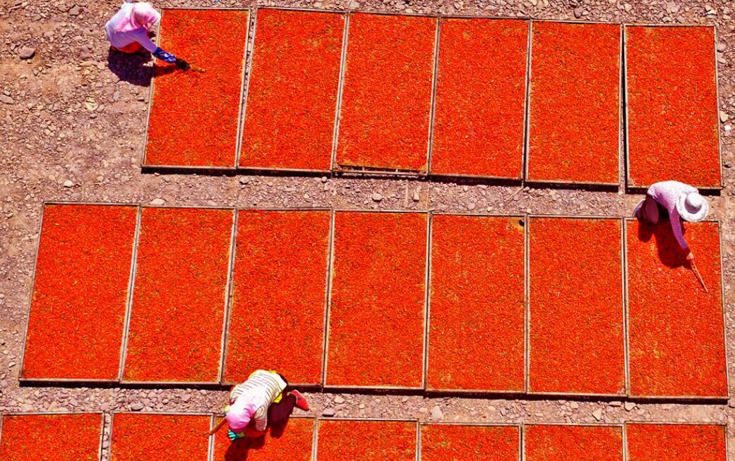 【甘肃五个一百网络正能量图片·系列展播(65)】张掖山丹: 万亩枸杞红了