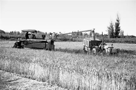 甘州水稻喜获丰收