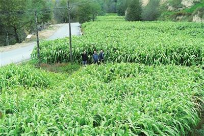 临夏州东乡县通过项目支撑种植了3000多亩甜高粱