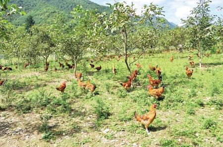 陇南康县:养鸡产业全覆盖 群众脱贫有保障