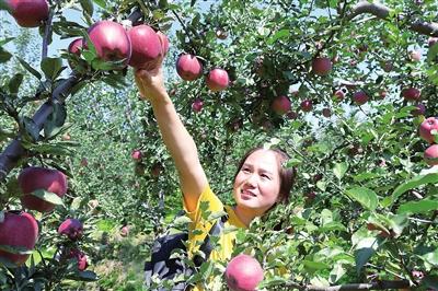 临夏州永靖县岘塬镇苹果迎来丰收季