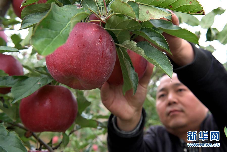 (经济)(1)小苹果带动致富大产业