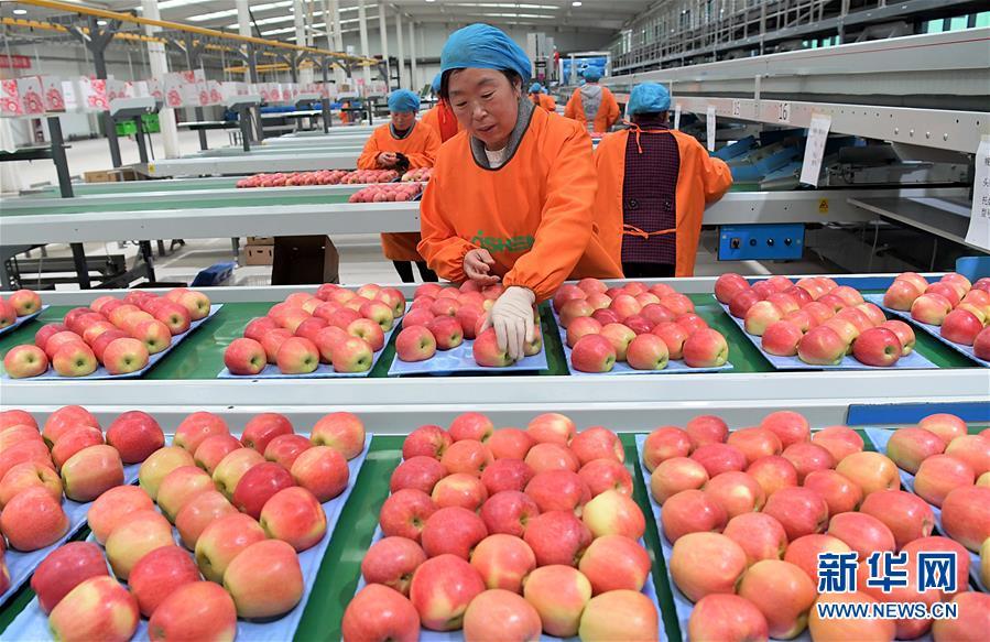 (经济)(3)小苹果带动致富大产业