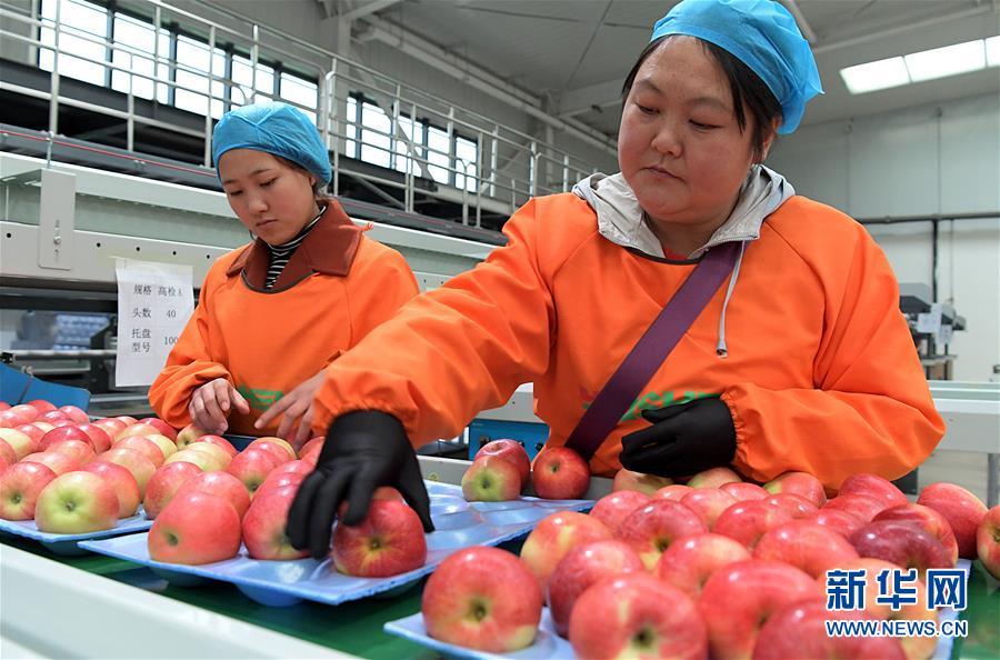 (经济)(5)小苹果带动致富大产业