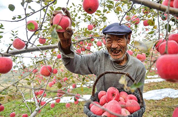 甘肃静宁:苹果熟了 果农乐了(组图)