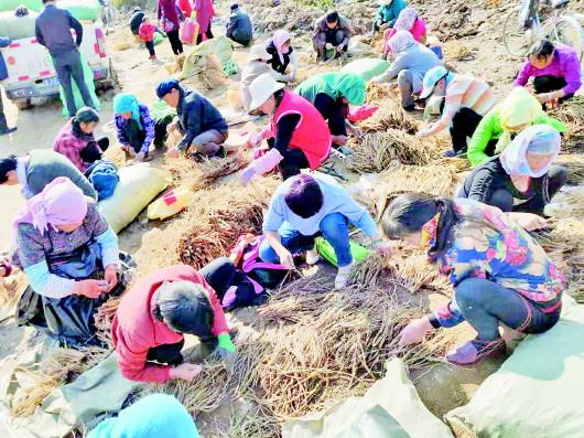 临洮连儿湾乡:中药材种植助农增收