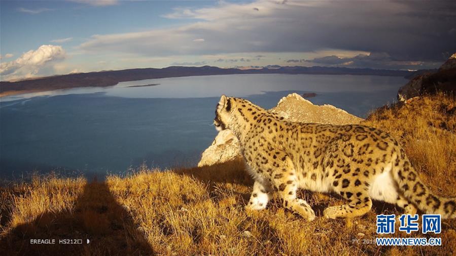 (图文互动)(2)黄河源记录到雪豹触发红外相机次数超190次