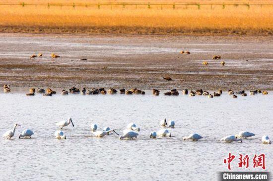 候鸟在湿地觅食。 张希清 摄