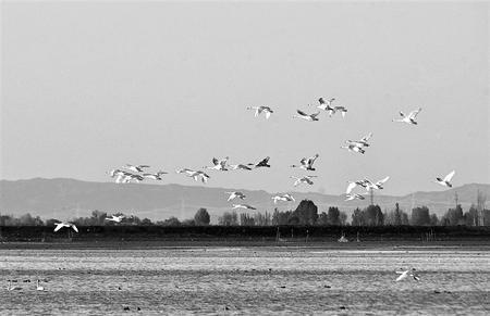 马尾湖库区迎来首批迁徙越冬的大天鹅(图)