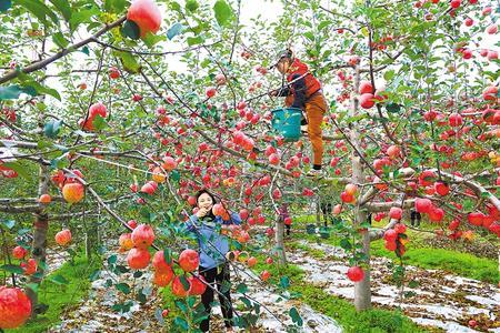 庆阳:苹果香飘黄土塬(图)