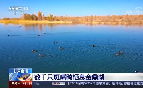 甘肃金塔 数千只斑嘴鸭栖息金鼎湖