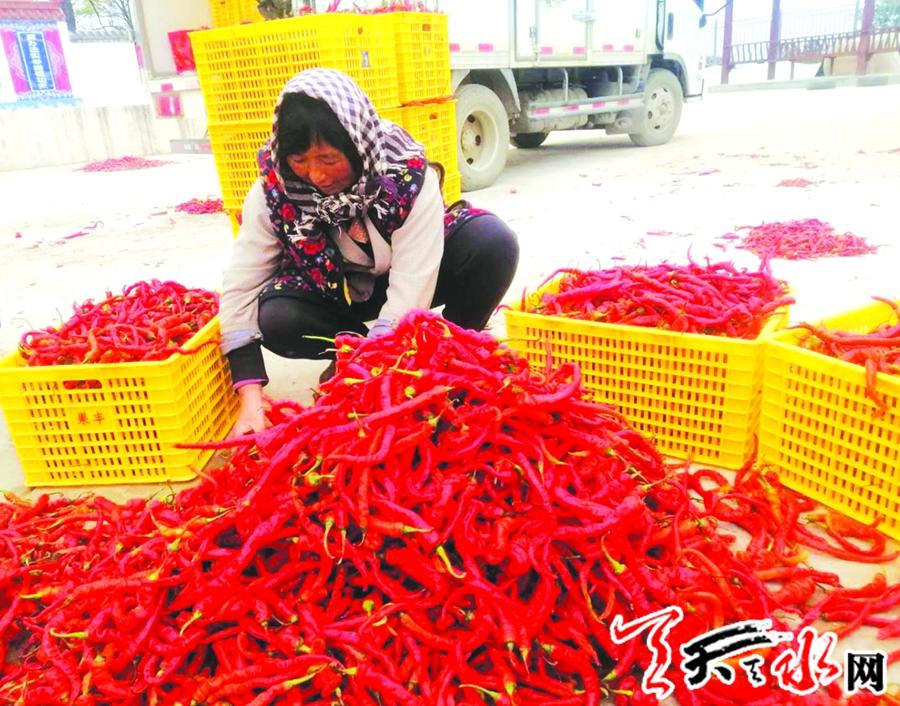 甘谷:小辣椒做成扶贫大产业