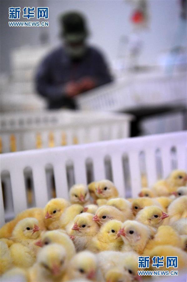 (经济)(2)甘肃镇原打造肉鸡全产业链项目
