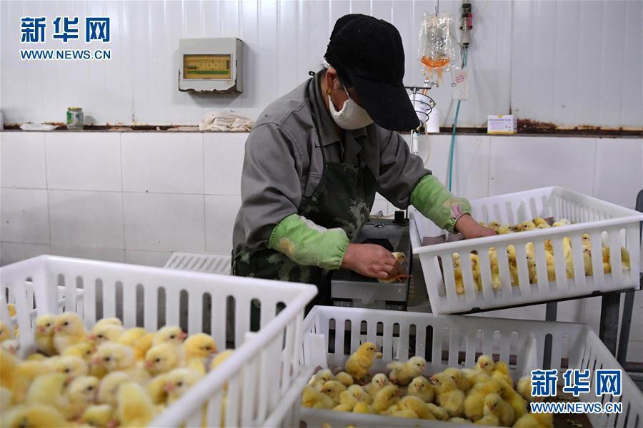 (经济)(3)甘肃镇原打造肉鸡全产业链项目