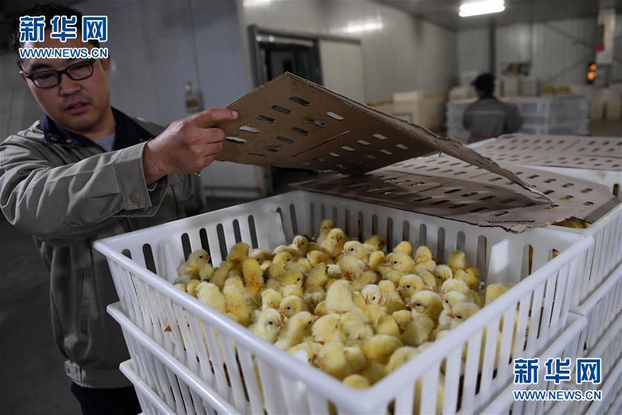 (经济)(4)甘肃镇原打造肉鸡全产业链项目