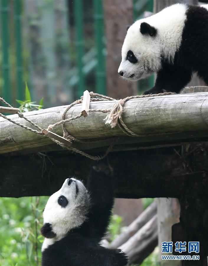 (图文互动)(4)2019大熊猫最新数据发布:全球圈养大熊猫数量达600只