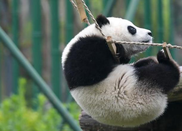 全球圈养大熊猫数量达600只