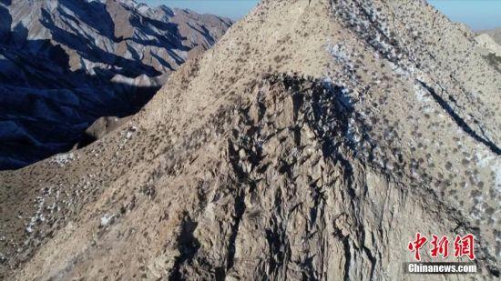 甘肃肃北数百只岩羊高山觅食 峭壁奔跑如履平地