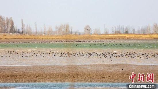 大批候鸟飞抵甘肃黑河湿地越冬