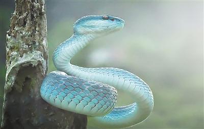 漂亮诡异 蓝色响尾蛇现身丛林