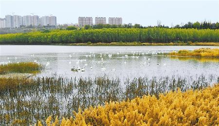 """【守护母亲河 建设幸福河】""""天鹅之城""""的生态奏鸣曲"""