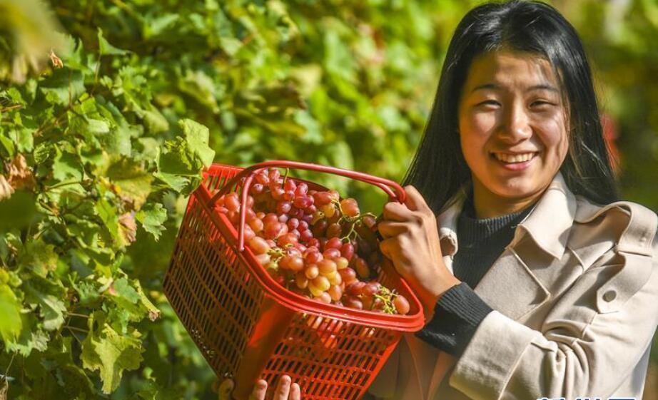 河北香河:错季葡萄效益好
