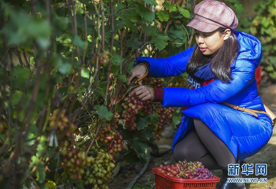 (经济)(1)河北香河:错季葡萄效益好