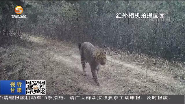关山林区和子午岭林区相继发现金钱豹种群