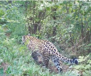 平凉关山林区发现金钱豹种群