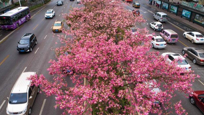 广西柳州:美丽异木棉花竞相盛开