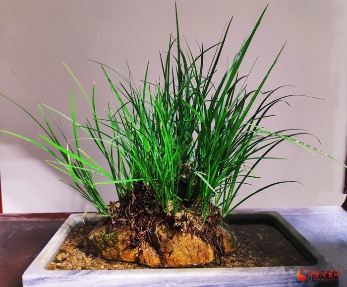 江西贵溪:一株菖蒲草的产业化之旅