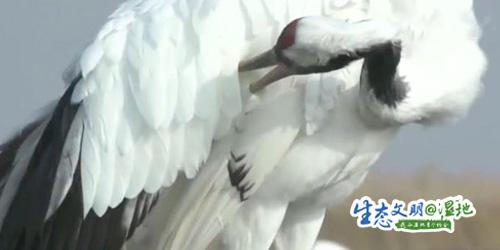 【生态文明@湿地】全世界1/8的野生丹顶鹤在此繁衍生息
