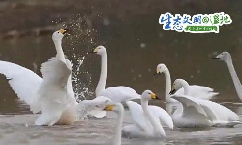 【生态文明@湿地】群鸟齐舞美如画,这里是候鸟越冬乐园!