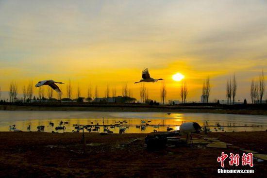 甘肃戈壁湿地仙鹤起舞迎朝阳