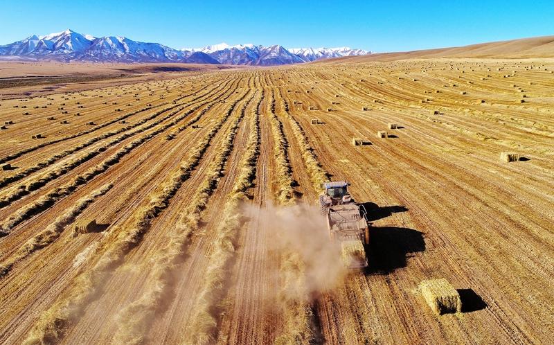 【飞阅甘肃】冬日丰收季!山丹马场21万亩燕麦草开镰收割(视频)