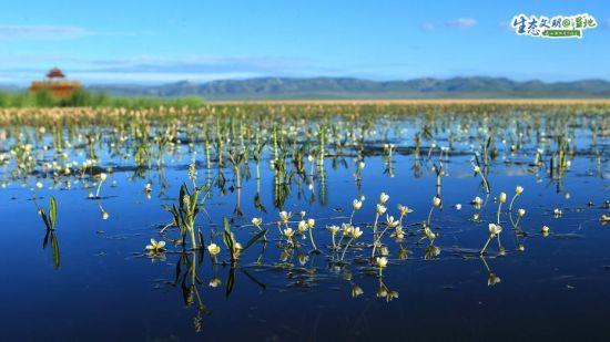 尕海湿地栖息有黑颈鹤、黑鹳、大天鹅、水獭等野生动物。 张勇 摄