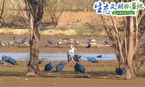 【生态文明@湿地】好热闹!大理剑川剑湖湿地迎来近3万只越冬候鸟