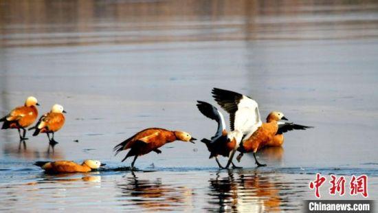 甘肃戈壁湿地候鸟冰面嬉戏萌态十