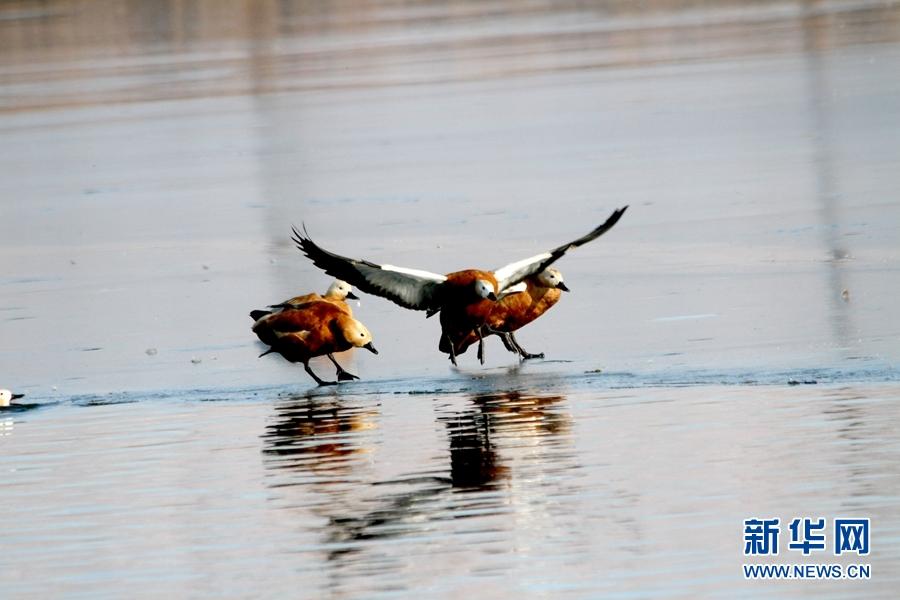 甘肃张掖:候鸟冰面嬉戏萌态十足