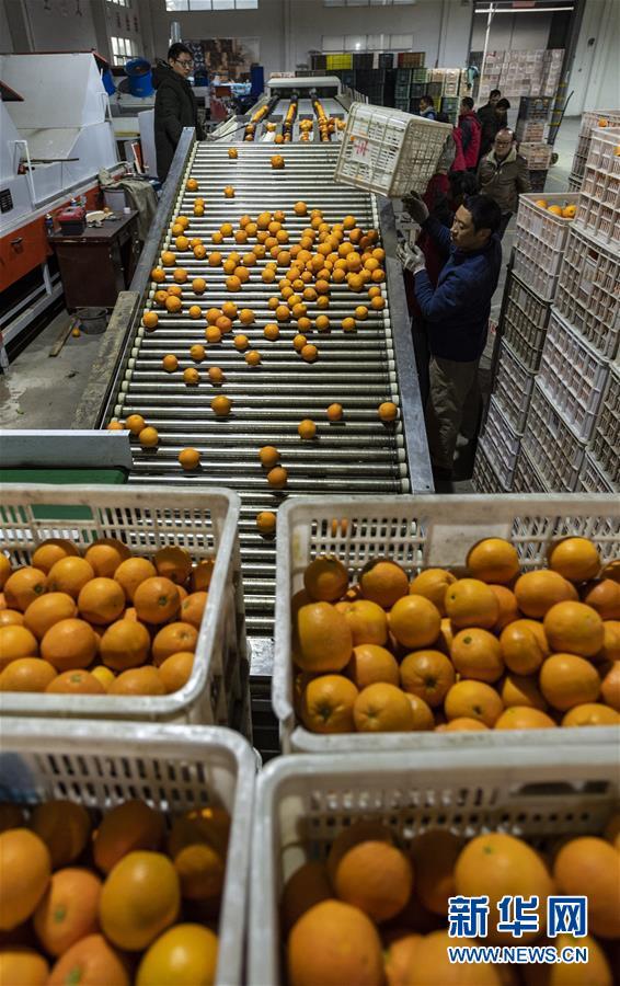 #(经济)(2)湖北秭归:又到脐橙丰收时