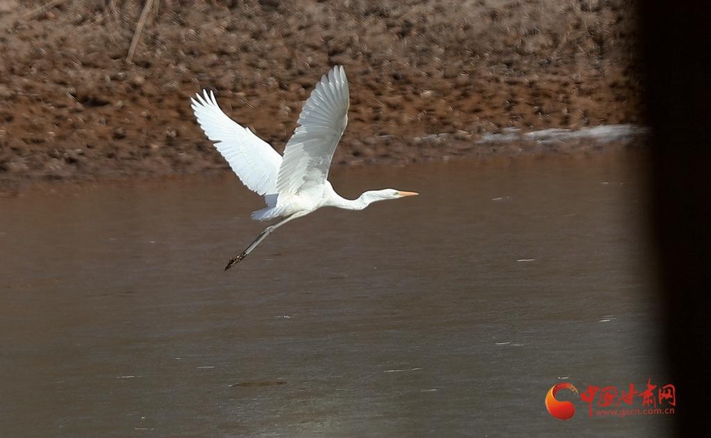 【生态文明@湿地】兰州: 湿地水美白鹭飞 倒影涟漪总相宜(高清组图)