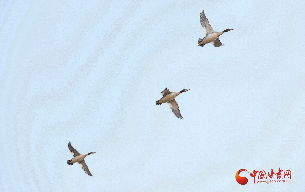【生态文明@湿地】兰州银滩湿地公园:水鸟翔集看蓝色黄河