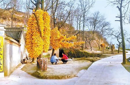 金灿灿的玉米棒成为陇南礼县农家院里一道亮丽的风景线