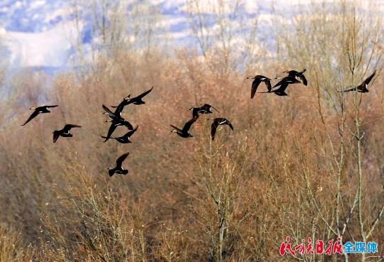 【生态文明@湿地】广通河畔白鹭飞(视频+图片)
