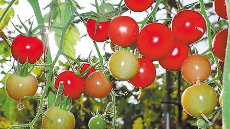 张掖临泽:科技赋予设施农业新活力