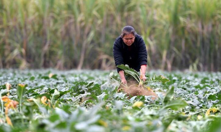 广西柳州:头菜丰收劳动忙